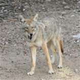 Image of a coyote outside