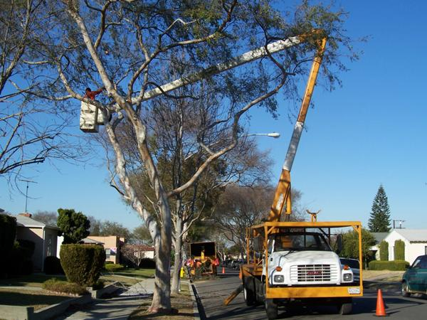Person in a truck lift trimming a tree
